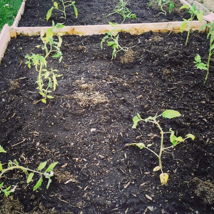 tomatoplants2015